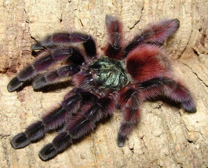 How To Care For An Avicularia Versicolor Pink Toe Tarantula