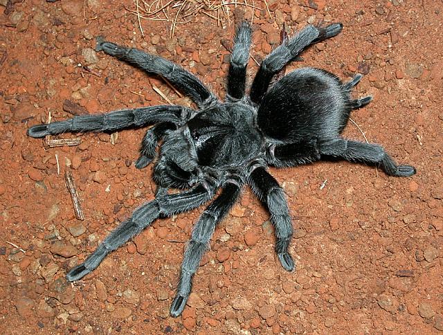 Grammostola Pulchra | Brazilian Black Tarantula