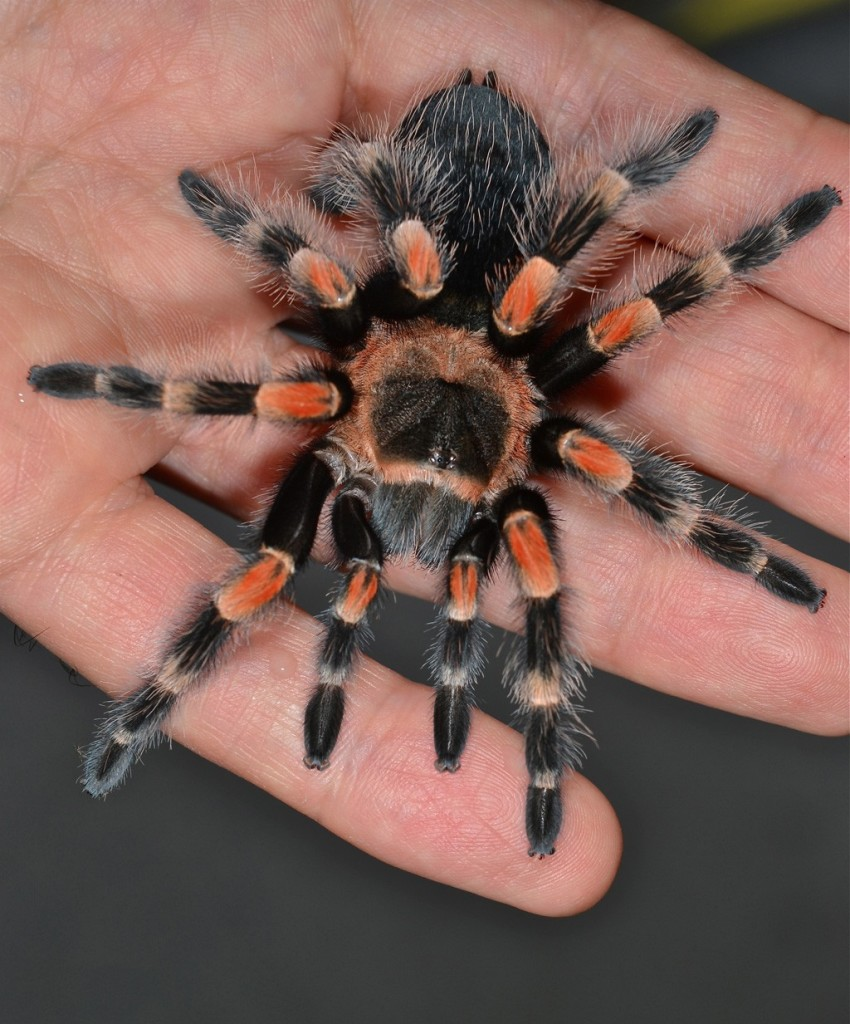 How To Care For A Brachypelma Smithi Mexican Red Knee