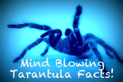 tarantula facts