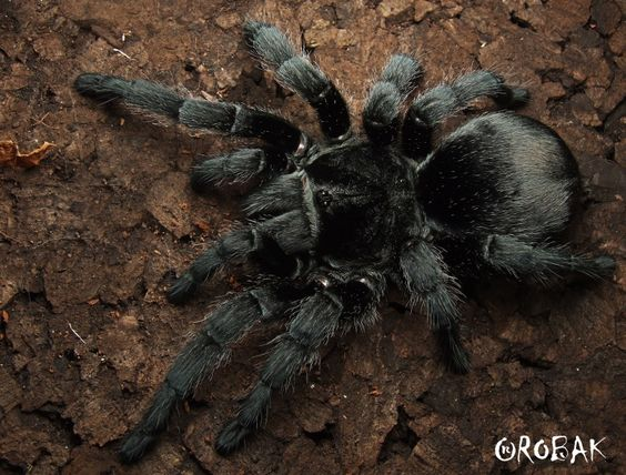 grammostola pulchra brazilian black tarantula